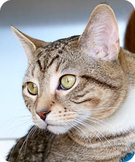 Domestic Shorthair Cat for adoption in Jefferson, Wisconsin - Mufasa