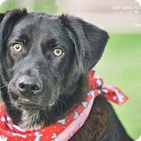Adopt A Pet :: Charlie - San Leon, TX
