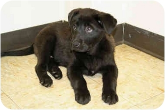 Labrador Retriever Mix Puppy for adoption in Racine, Wisconsin - Kane