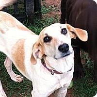 Hound (Unknown Type)/Labrador Retriever Mix Dog for adoption in Albemarle, North Carolina - Jill