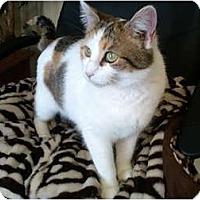 Adopt A Pet :: Khloe (LAP CAT) - Sterling Hgts, MI