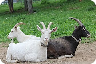 Goat for adoption in Saugerties, New York - Eleanor