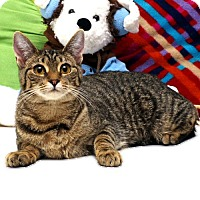 Adopt A Pet :: Patty Cakes - Rocky Hill, CT