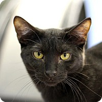 Adopt A Pet :: Twist o' Lemon - Chicago, IL