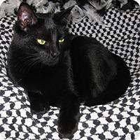 Domestic Shorthair Cat for adoption in Verdun, Quebec - Aimy