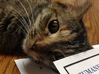 Domestic Shorthair Cat for adoption in LaGrange, Kentucky - Tiny
