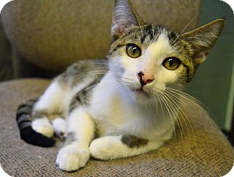 Domestic Shorthair Cat for adoption in Michigan City, Indiana - Parker