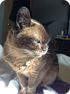 Burmese Cat for adoption in Columbus, Ohio - Cocoa
