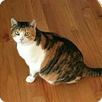 Calico Cat for adoption in Knoxville, Tennessee - Reese female SPONSORED ADOPTION FREE