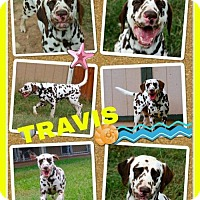 Adopt A Pet :: Travis - Fort Collins, CO