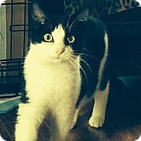 Domestic Shorthair Cat for adoption in Mount Laurel, New Jersey - Jangles