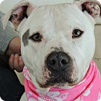 Adopt A Pet :: DOT snuggle queen! - Durham, NH