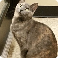 Adopt A Pet :: Catniss - Colmar, PA