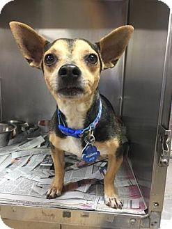 Rat Terrier Mix Dog for adoption in Miami, Florida - Leo