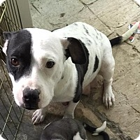 Adopt A Pet :: Stella - Summerville, SC