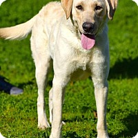 Labrador Retriever Dog for adoption in Penngrove, California - AJ