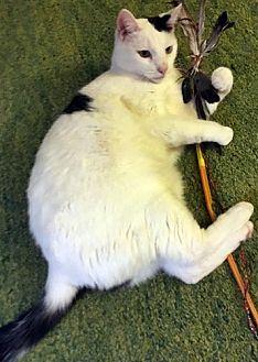 Domestic Shorthair Cat for adoption in Santa Fe, New Mexico - Fellini