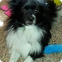 Adopt A Pet :: Oreo - Edmond, OK