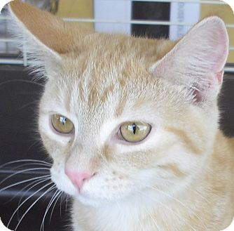 Domestic Shorthair Kitten for adoption in Fairborn, Ohio - Butterscotch-Smith Litter