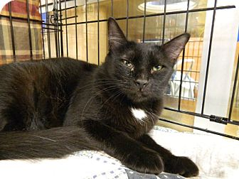 Domestic Mediumhair Cat for adoption in The Colony, Texas - Astrid