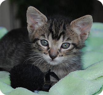 Domestic Shorthair Kitten for adoption in Palmdale, California - Enzo (aka Little Tabby Boy)