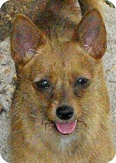 Chihuahua/Terrier (Unknown Type, Medium) Mix Dog for adoption in Mtn Grove, Missouri - Keely