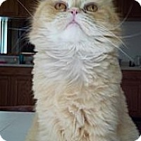 Adopt A Pet :: Marco (4 paw declaw) - Sterling Hgts, MI
