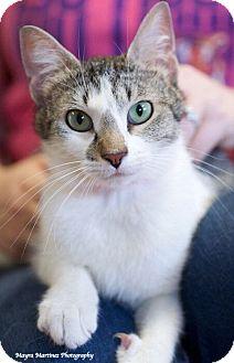 Domestic Shorthair Cat for adoption in Huntsville, Alabama - Ariel
