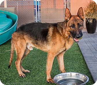 German Shepherd Dog Mix Dog for adoption in Phoenix, Arizona - Marvin