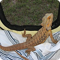 Adopt A Pet :: 2 Bearded Dragons - Christmas, FL