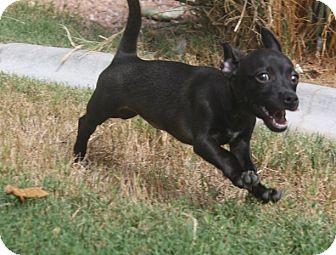 Dachshund/Chihuahua Mix Puppy for adoption in Henderson, Nevada - Hermione