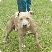American Pit Bull Terrier Dog for adoption in Carthage, North Carolina - Mr. Smith