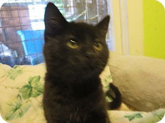 Domestic Mediumhair Kitten for adoption in Coos Bay, Oregon - Hocus Pocus