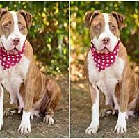 American Staffordshire Terrier Dog for adoption in Chatsworth, California - LULU
