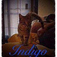 Adopt A Pet :: Indigo - Garner, NC