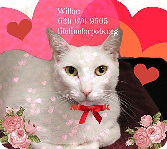 Domestic Shorthair Cat for adoption in Monrovia, California - A Sweet Male: WILBUR