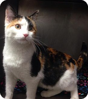 Domestic Shorthair Kitten for adoption in Valley Falls, Kansas - Wren