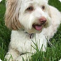 Adopt A Pet :: Ruby - Valley Park, MO