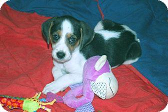 Foxhound/Beagle Mix Puppy for adoption in Minneola, Florida - Suzie