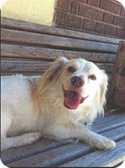 Cocker Spaniel Mix Dog for adoption in Santa Barbara, California - BAILEY