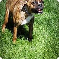 Adopt A Pet :: Lacey - Broomfield, CO