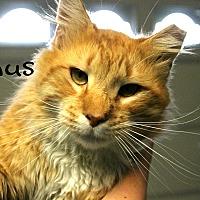 Domestic Longhair Cat for adoption in Wichita Falls, Texas - Linus
