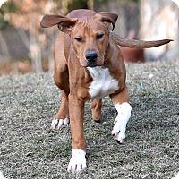 Adopt A Pet :: Kobe - Westminster, MD