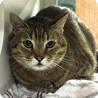Adopt A Pet :: Mr. Honey - GREAT CAT - Herndon, VA