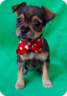 Chihuahua/Terrier (Unknown Type, Small) Mix Puppy for adoption in Irvine, California - Norma Jean