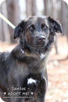 Flat-Coated Retriever/Border Collie Mix Dog for adoption in Minneola, Florida - Santos