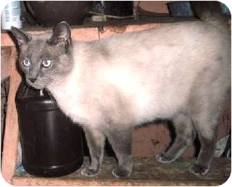 Siamese Cat for adoption in Warren, Ohio - My-ling