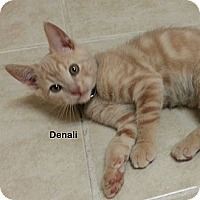 Adopt A Pet :: Denali - Portland, OR