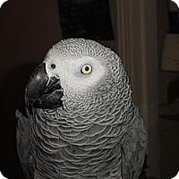 Adopt A Pet :: Tame 11 Y.O Congo African Grey - Vancouver, WA
