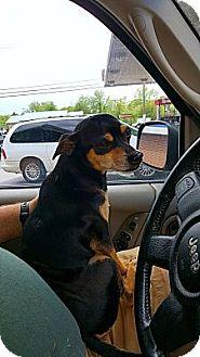 Chihuahua/Miniature Pinscher Mix Dog for adoption in Burlington, Vermont - Bandit